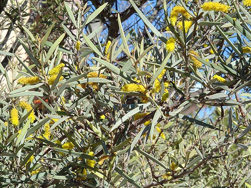 Find Plants Mulga Tree