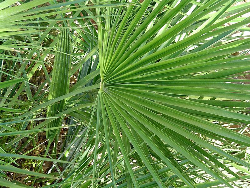 Find Plants Mediterranean Fan Palm