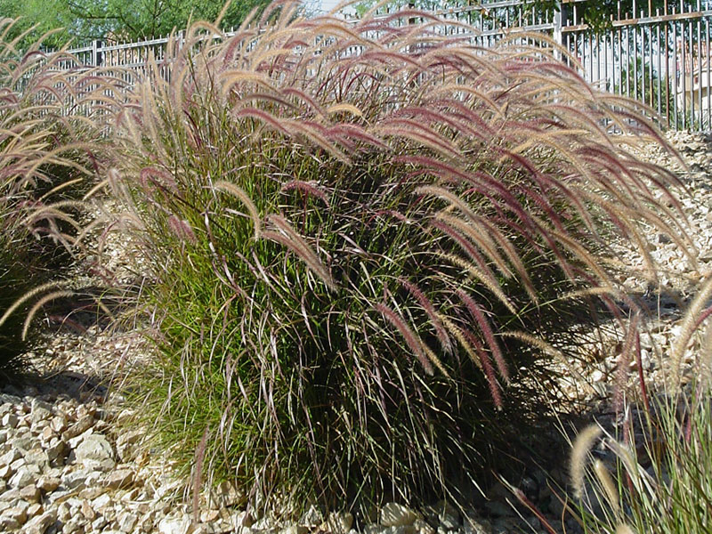 Find Plants Red Fountain Grass Purple Fountain Grass