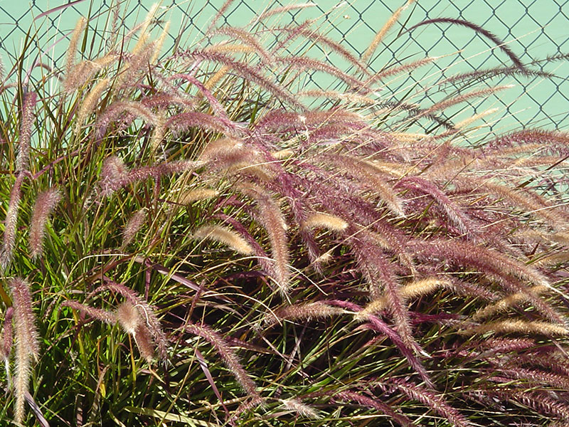 Find Plants Red Fountain Grass Purple Fountain Grass