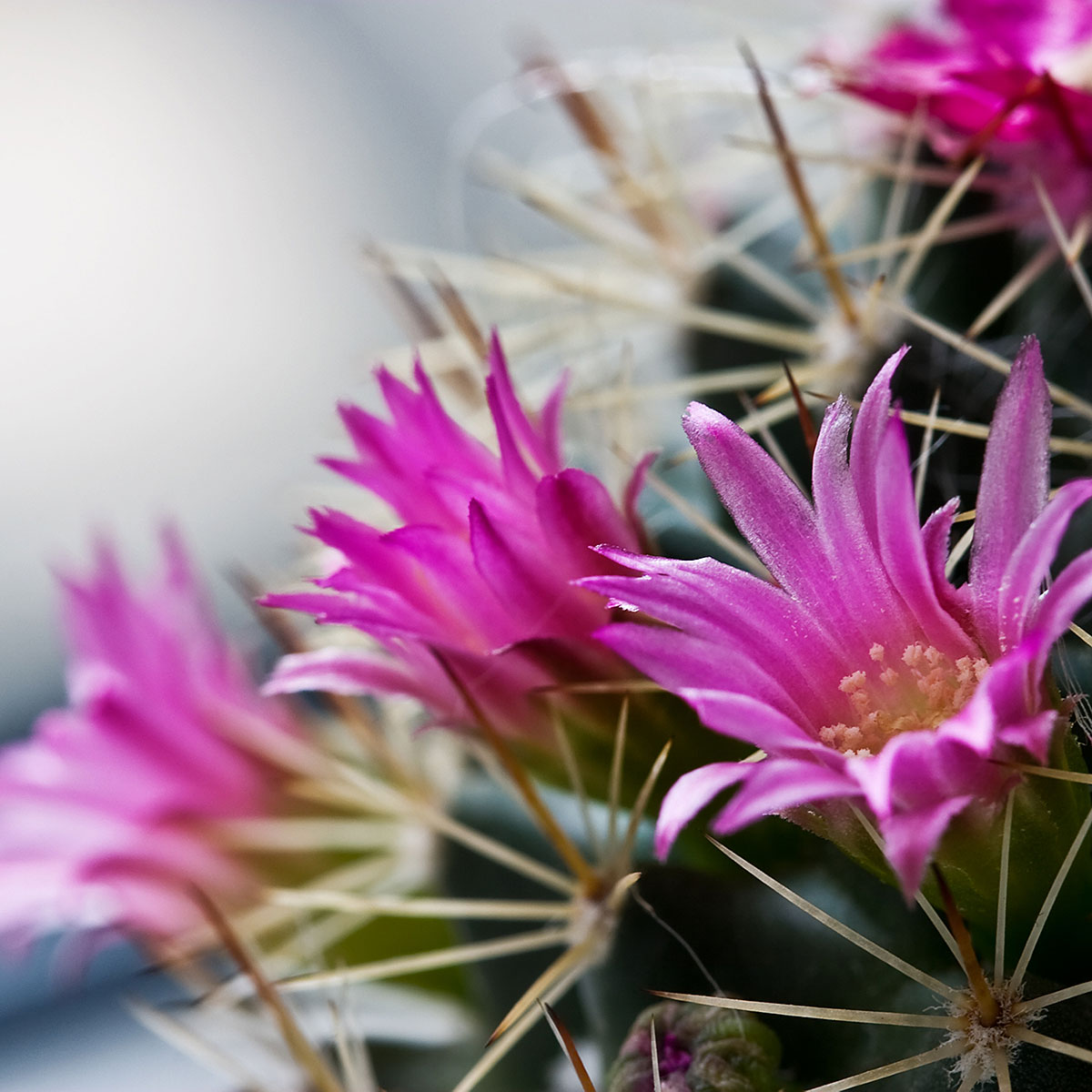 A close-up of a cactus with pink flowers