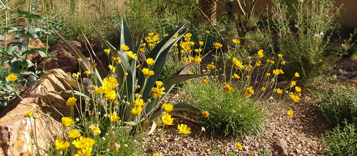 Agave and yellow flowers in water-smart landscape